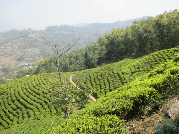 Teefelder Ilam Region (2)