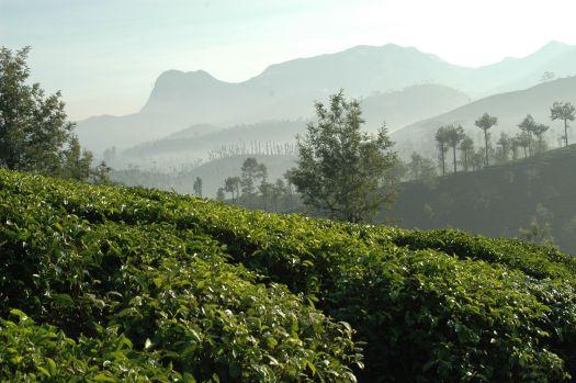 TeeGschwendner_Teeanbau_Indien